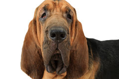 Portrait of Bloodhound dog Stock Photography
