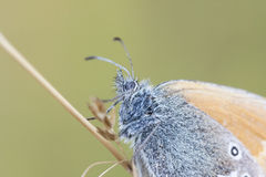Portrait of a blue butterfly Stock Photography