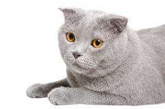 Portrait of a blue cat Scottish Fold Stock Image