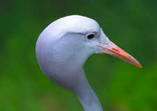 Portrait of blue crane bird Royalty Free Stock Image