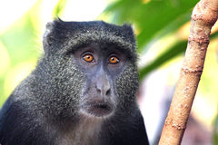 Portrait of a blue diademed monkey Stock Photo