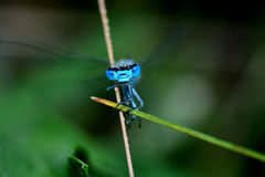 Portrait of a blue dragonfly royalty free stock images