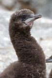 Portrait of blue-eyed Antarctic cormorant downy chick Stock Image