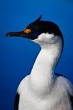 Portrait of blue-eyed bird. Portrait of wild blue-eyed bird in Antarctica Royalty Free Stock Images