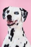 Portrait of blue-eyed dalmatian. Bitch, studio shot, pink backdrop Royalty Free Stock Photos