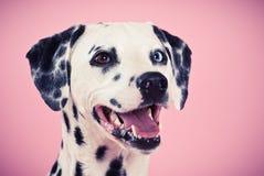 Portrait of blue-eyed dalmatian. Portrait of a blue-eyed dalmatian bitch, smiling, studio shot, pink backdrop, horizontal Royalty Free Stock Photos
