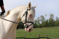 Portrait of a blue-eyed gray stallion against natural background Stock Photography