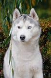 Portrait of a blue eyed Husky Royalty Free Stock Image