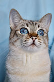 Portrait of blue-eyed white cat Stock Photography