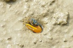 Portrait of Blue Fiddler Crab Stock Images