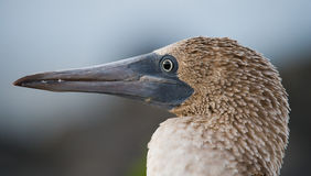 Portrait of blue-footed boobies. The Galapagos Islands. Birds. Ecuador. Stock Photography