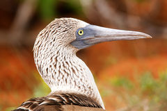 Portrait of Blue-footed Booby on North Seymour Island, Galapagos Stock Images