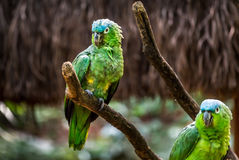 Portrait of blue fronted parrot Royalty Free Stock Photo