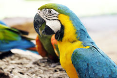 Portrait of blue and gold macaw parrot Royalty Free Stock Images