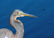 Portrait of Blue Heron. Upper body of a blue heron with a blue background Royalty Free Stock Images