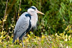 Portrait of a blue heron with a clear background Stock Images