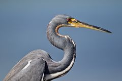Portrait of a tricolored heron stock image