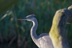 Portrait of a blue heron in the morning light Stock Image