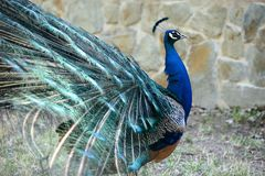Portrait of a blue male peacock Stock Photography