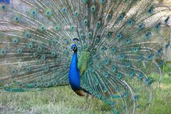 Portrait of a blue male peacock Stock Images
