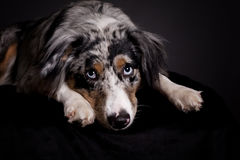 Portrait of Blue Merle Australian Shepherd Royalty Free Stock Photo