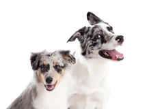 Portrait of 2 blue merle dogs. Happy dog photographed in the studio on a white background royalty free stock image