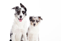 Portrait of 2 blue merle dogs. Happy dog photographed in the studio on a white background royalty free stock photo