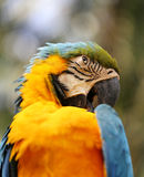 Portrait of a blue parrot Royalty Free Stock Images