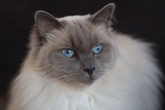 Portrait of a blue point ragdoll. On a black background Stock Photos