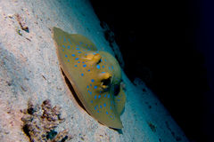 Portrait of blue spotted stingray Royalty Free Stock Photo