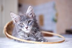 Portrait of blue tabby color Maine coon kitten Stock Photography