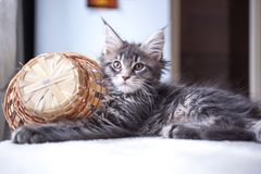Portrait of blue tabby color Maine coon kitten Stock Photos