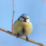 Blue tit on branch close up Stock Images
