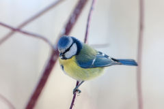 Portrait of blue tit Royalty Free Stock Photo
