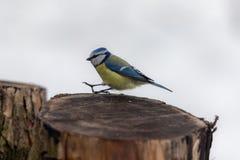 Blue tit on a stump stock image