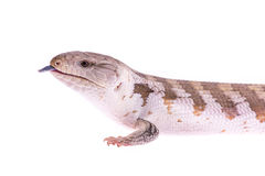 Portrait of a blue tongued skink lizard with its tongue sticking. Out on a white background stock photo