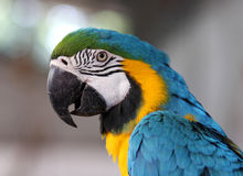 Portrait of blue and yellow macaw. Stock Images