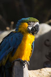 Portrait of a Blue-and-Yellow Macaw, Ara ararauna Stock Image