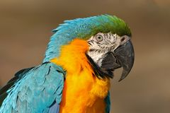 Portrait of blue-and-yellow macaw, Ara ararauna, also known as the blue-and-gold macaw, is a large South American parrot with blue Royalty Free Stock Photo