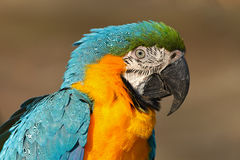 Portrait of blue-and-yellow macaw, Ara ararauna, also known as the blue-and-gold macaw, is a large South American parrot with blue Stock Photo