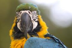 Portrait of blue-and-yellow macaw (Ara ararauna) stock photography