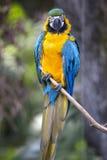 Portrait of blue-and-yellow macaw (Ara ararauna) Royalty Free Stock Photos