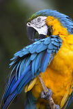 Portrait of blue-and-yellow macaw (Ara ararauna) Royalty Free Stock Images
