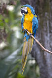Portrait of blue-and-yellow macaw (Ara ararauna) Stock Images