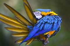 Portrait of blue-and-yellow macaw (Ara ararauna) while grooming feathers Royalty Free Stock Photos