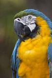 Portrait of blue-and-yellow macaw (Ara ararauna) while grooming feathers Stock Images