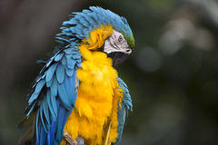 Portrait of blue-and-yellow macaw Stock Photos