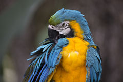 Portrait of blue-and-yellow macaw Royalty Free Stock Image