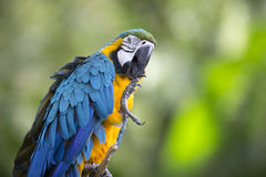 Portrait of blue-and-yellow macaw Stock Photo