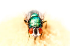 Portrait of Bluebottle Fly on Daisy Stock Images
